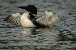 The Common Loon